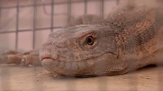 В зоопарке Шымкента насмерть замерзли серые вараны