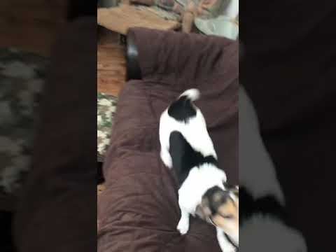 Beagle/Rat Terrier EXCITED To Go Shed Hunting!