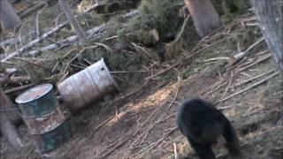 Big Black bear-long death moan