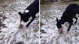 Dogs Favourite Ball Gets Frozen To Ground
