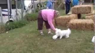 Pure White Maltese Dog Giving Training For Finding Rat In Grass