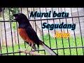 Burung Murai Batu Full Isian Cililin Jenggot Kenari Lovebird Cucak Ijo  Mp3 - Mp4 Download