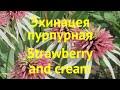 Эхинацея пурпурная Старвберри энд Креем. Краткий обзор echinacea purpurea Strawberry and cream