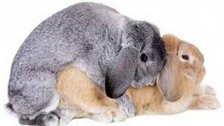 Самка кролика в охоте.Помощь при разведение кроликов +в домашних условиях.
