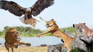 Family Lion attack Eagle protect Baby, The salvation of The Lord for Lion Cub - Eagle failed