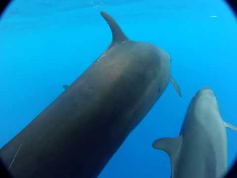 Hawaiian False Killer Whales (Pseudorca crassidens) Bowridin