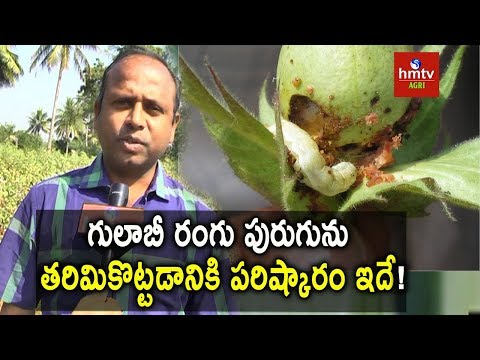 How to Control Pink Bollworm in Cotton ? | Cotton Pests | hmtv
