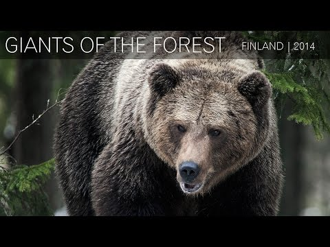 Wild Brown Bears - Finland | 2014