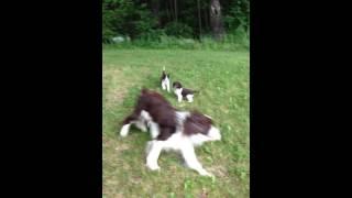 Fancy Springerdoodle Puppies!