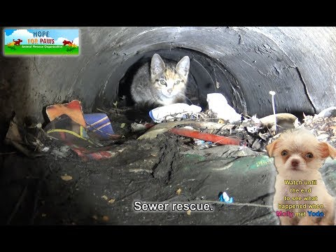 A kitten was stuck in the sewer until a woman heard the…