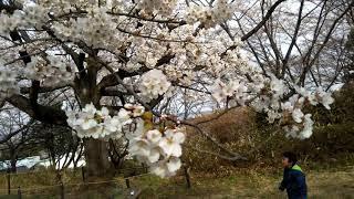 子供大好きなハル、桜より子供の動向が気になります.