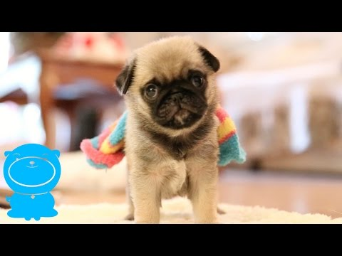 Baby Pug Puppy Wears Sock (FUNNY!)