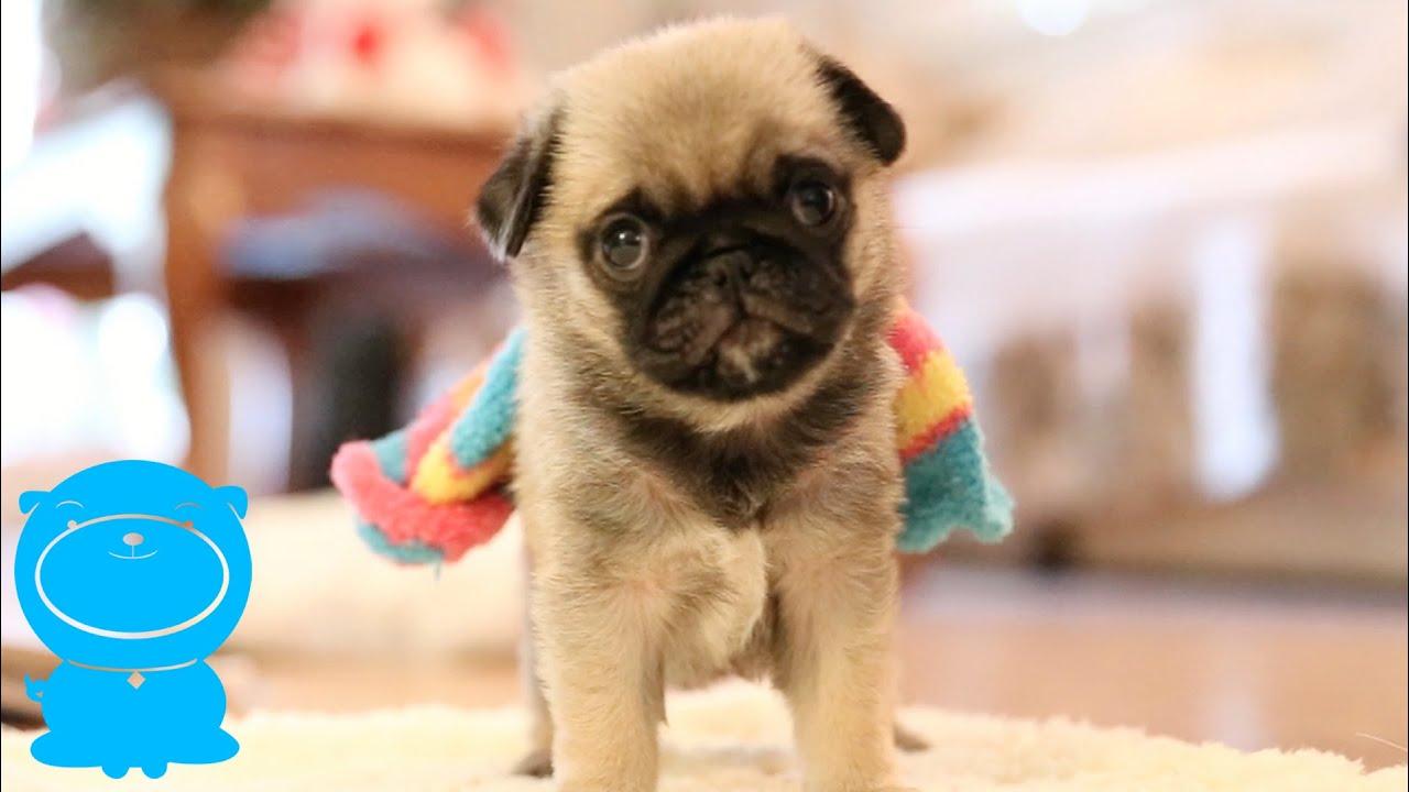 Baby Pug Puppy Wears Sock FUNNY