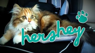 RM | Deeds - All about HERSHEY | Persian cat