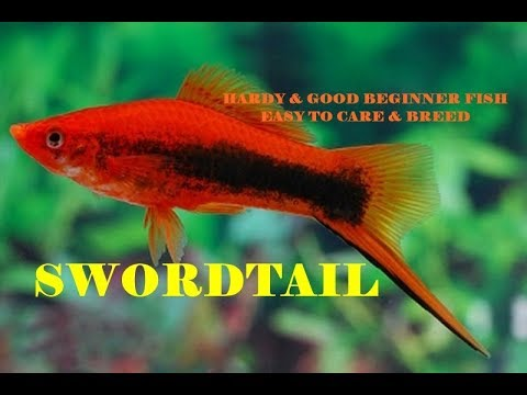 Swordtail | Hardy Beautiful & Easy To Care | Beginner Fish