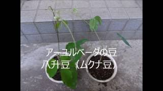 アーユルベーダ 八升豆(ムクナ豆)の苗 不老長寿 http://herbnoaruseik...