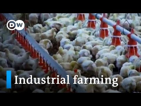Need for meat: Industrial livestock farming | DW English