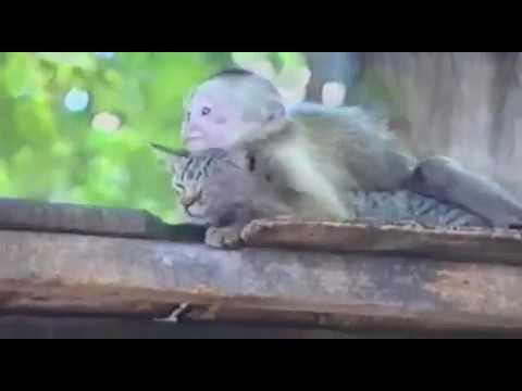 Любовь обезьяны к коту