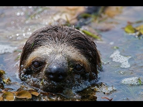 CRAZY SWIMMING SLOTHS - Does a Sloth Sink or Swim?