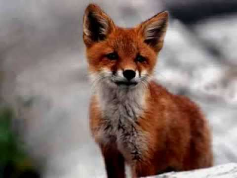 Ylvis - The Fox (What does the Fox say?) [Official music video HD] This is what the Fox say....