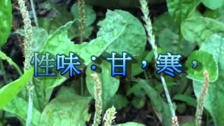 認識  青草藥  車前草    別名:五筋草,錢貫草。