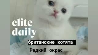 Котята колор поинт
