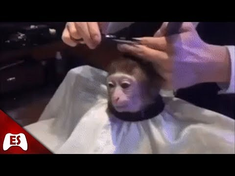 Monkey Getting a Haircut