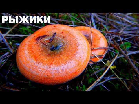 Осенние грибы рыжики, Подмосковье 2018
