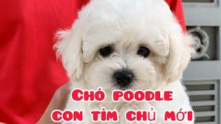 Chó poodle lông xoăn đẹp cần tìm chủ | Trại Chó Bình Cao