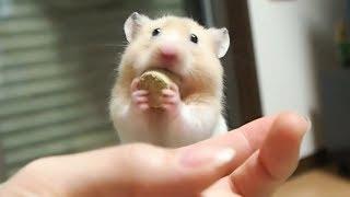 ヘーゼルナッツは断固として食べないもよう!おもしろ可愛いハムスターFunny Hamster does not eat hazelnut!