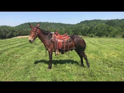 Gus. Draft cross John Mule for sale. Watch this mount and dismount ‼️‼️‼️‼️‼️‼️‼️‼️