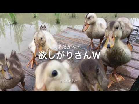Duck farming in Japan