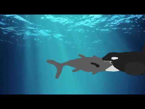 Entry to Cody shrimps contest: orca hunts bluefin tuna