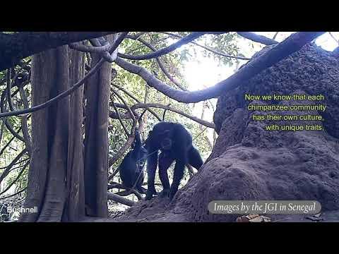 Termite Fishing By Wild Chimpanzees In Senegal