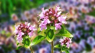 видео Богородская трава полезные свойства