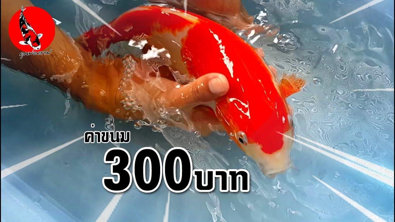 ปลาคาร์ฟลูกนอก ตัวละ300บาท เลี้ยงในบ่อทำเองถูกๆ l คุณพ่อคราฟ EP.36