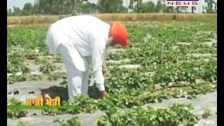 Agriculture Special | Saddi kheti # 101 | Strawberry Farming at Gurdaspur
