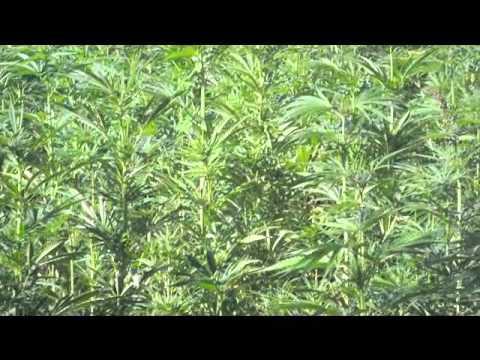 Cannabis field in Africa