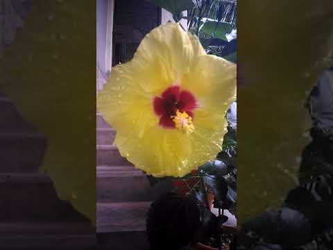 Beautiful Hawaiian Hibiscus