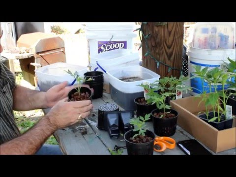 Hydroponic Creole Tomato plants grown with Hydroton and net cups