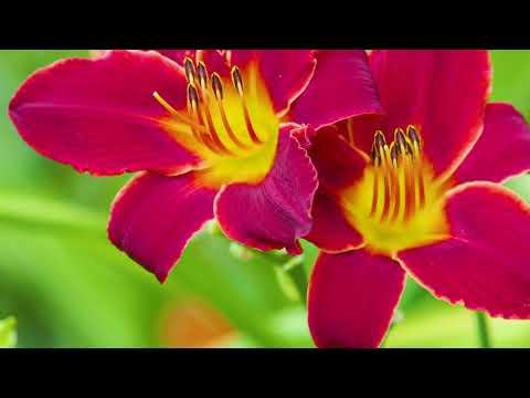 Taglilien nach der Blüte richtig pflegen.