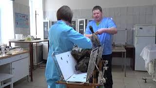 Меченые собаки.. В Вятских Полянах волонтёры биркуют бездомных животных