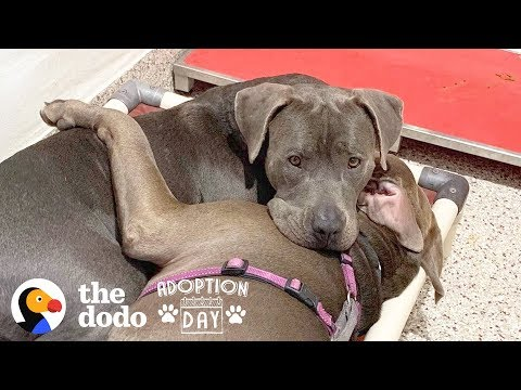 Pittie Best Friends Had To Be Adopted Together  | The Dodo Adoption Day