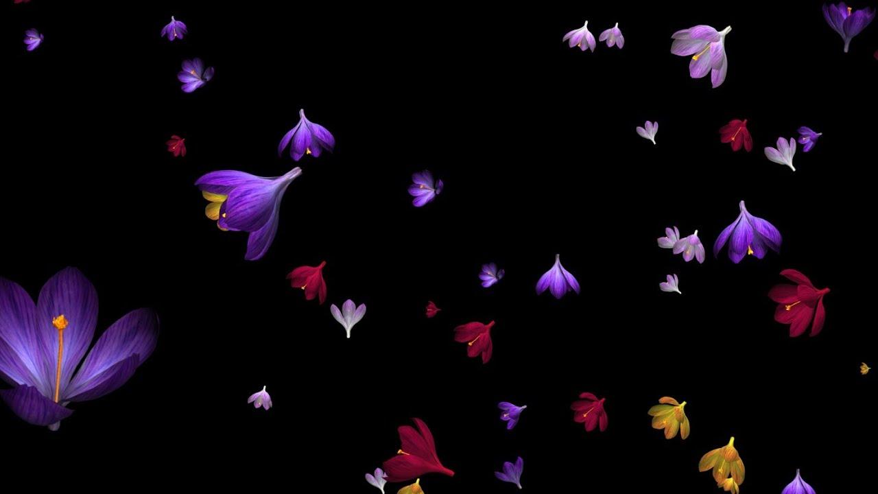 Rose Petals Falling Wallpaper Rain Of Flowers Multicolored Crocus Loop Alpha Youtube