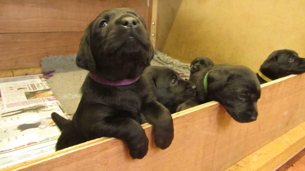 KC Reg Black Labrador Puppies For Sale - Ready 1st June 2015