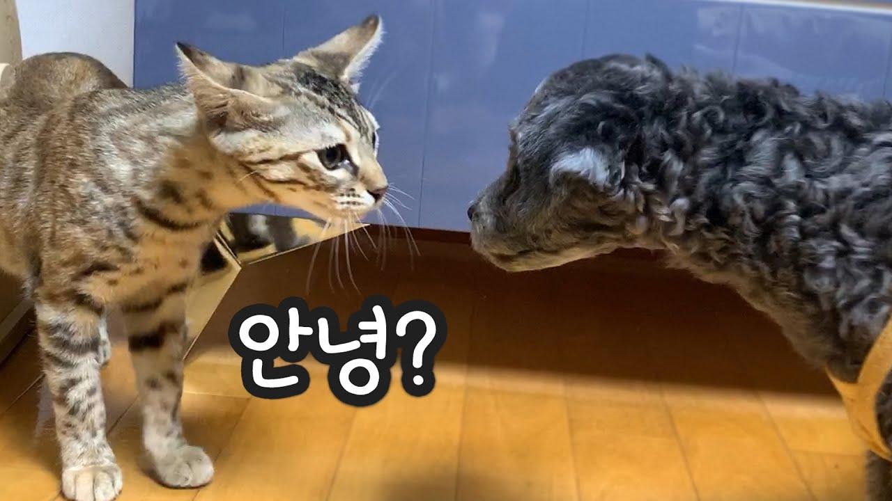 아기강아지가 고양이를 처음 봤을 때 반응 (실버푸들)
