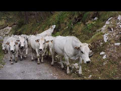 Le mucche di Preit