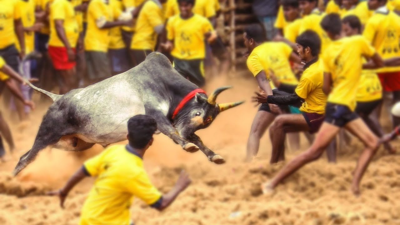 Image result for Jallikattu