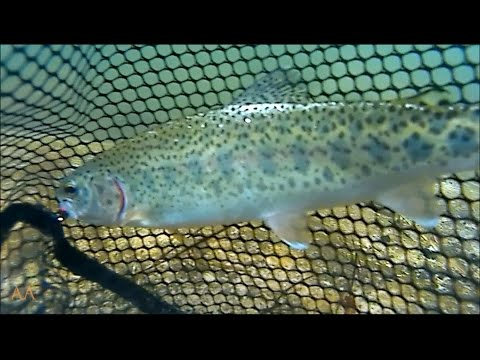 Arizona Oak Creek Rainbow Trout Fly Fishing