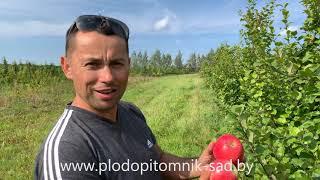 Яблоня сорт Рубин. Гигантские яблоки для серьёзных садоводов)